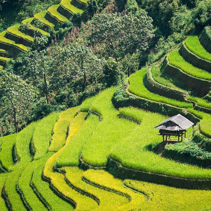 Vietnam, rizières en terrasse