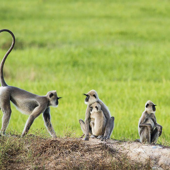 Sri Lanka, safari, singes