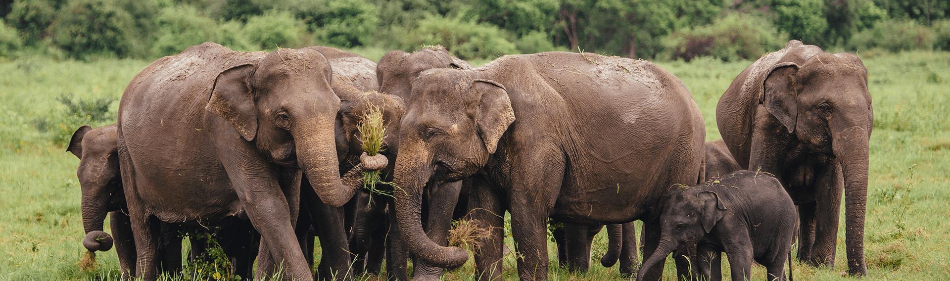 Sri Lanka, safari, elephants