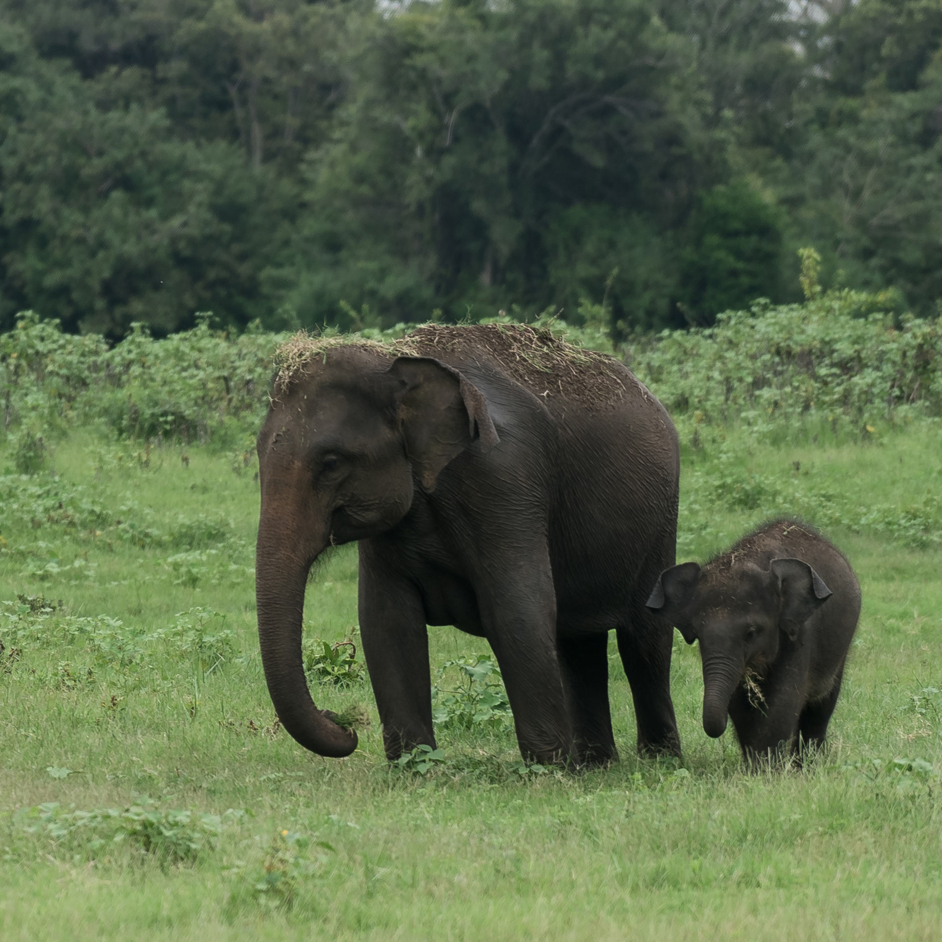 Sri Lanka, Parc national, Éléphants