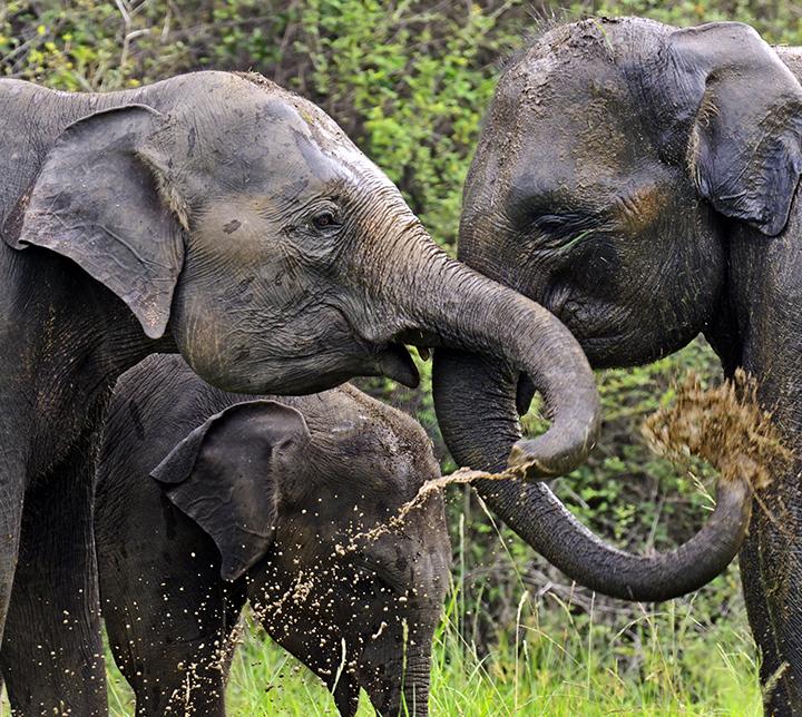 Asie, Vie sauvage, Éléphants