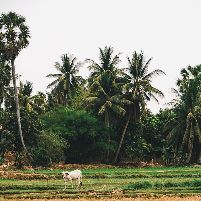 Rizières, Province de Siem Reap, Cambodge
