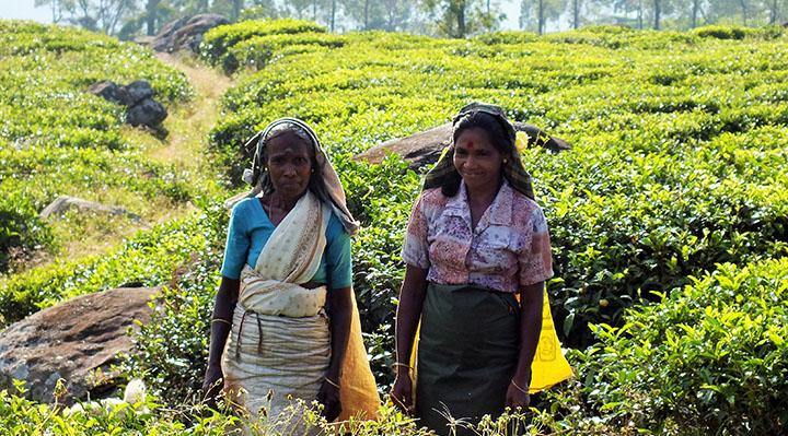 Cueilleuses de thé, Sri Lanka