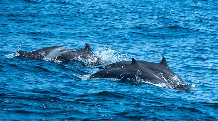 dauphins-sri-lanka