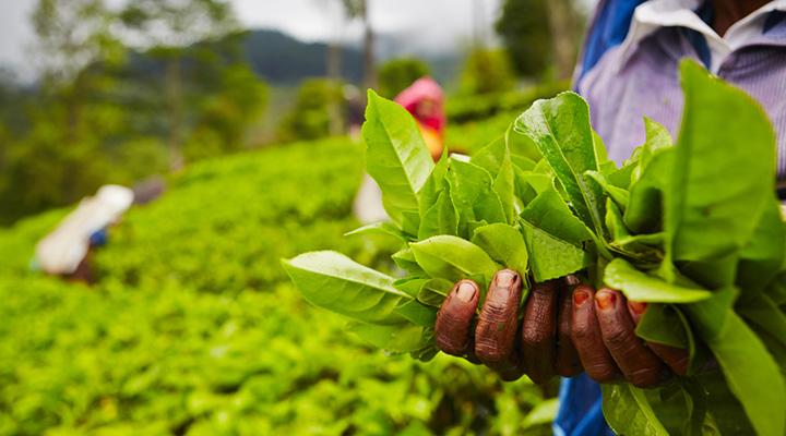 Plantation de thé, Ella, Sri Lanka