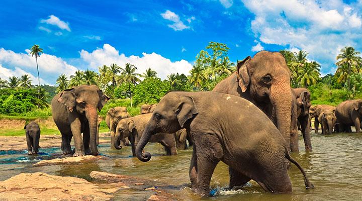 baignade-elephants
