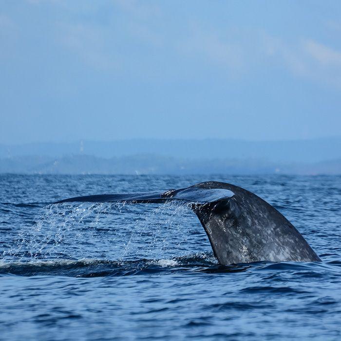 Baleine, excursion en mer, Sri Lanka