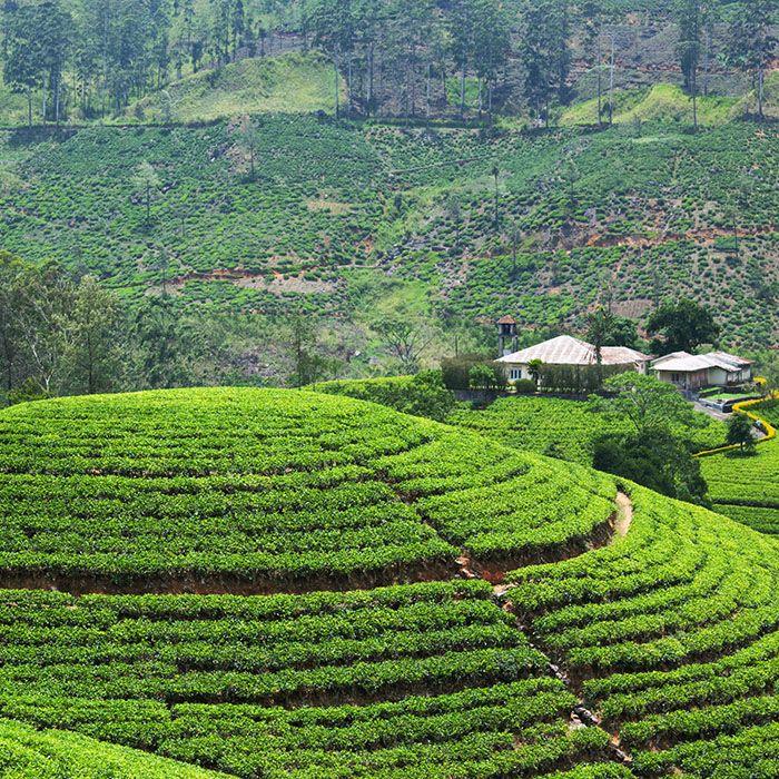 Sri Lanka, Bambarakanda, Plantations thé
