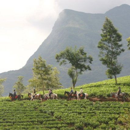 Chevaux, Plantations de thé, Sri Lanka