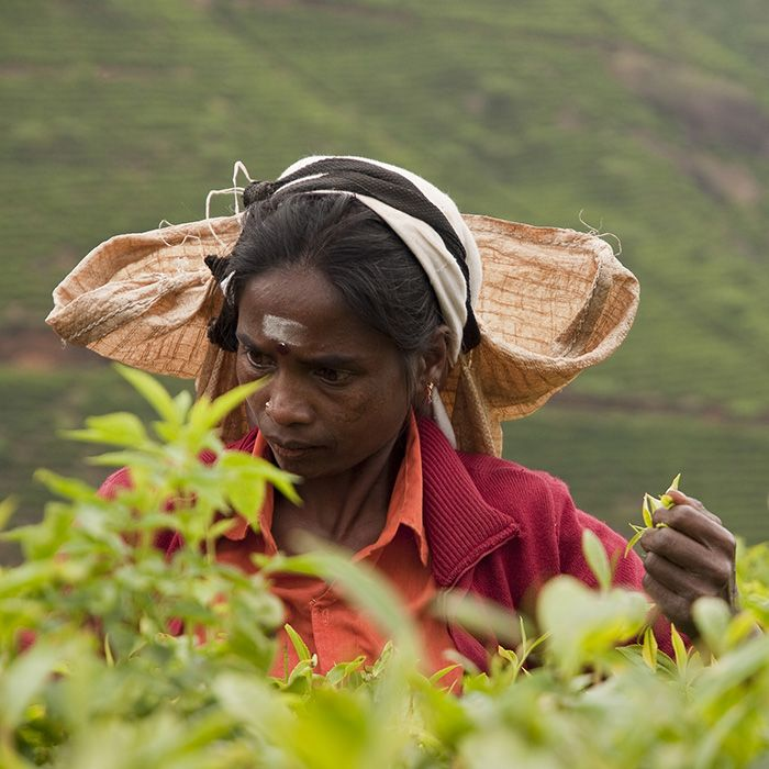 Cueilleuse de thé, Ella, Sri Lanka
