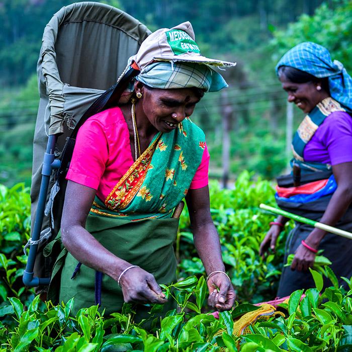 Cueilleuses de thé, région montagneuse, Sri Lanka