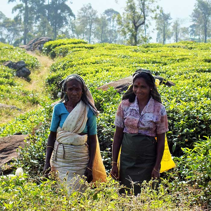 Cueilleuses de thé, Madulkelle, Sri Lanka
