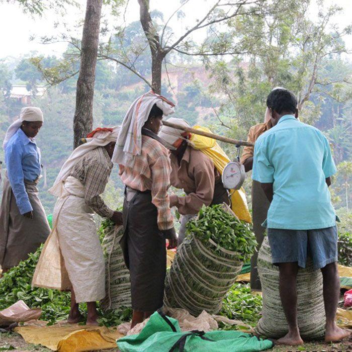 Sri Lanka, Trek, Plantations Thé