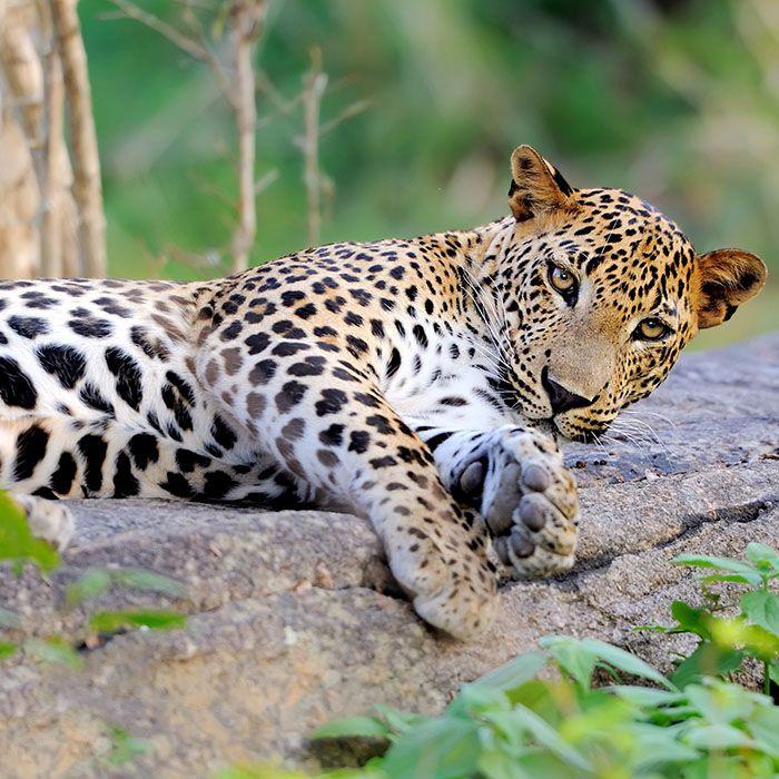 Leopard, Parc National de Yala, Sri Lanka