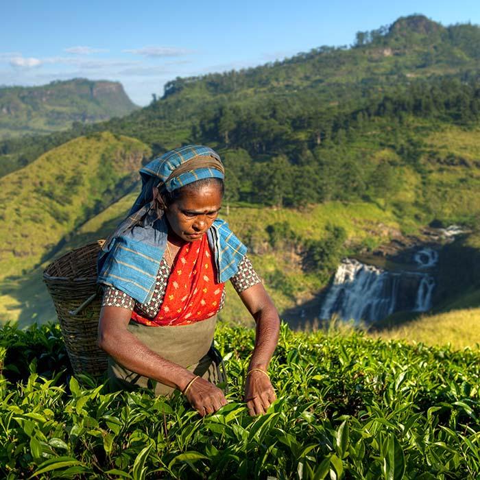 Cueilleuse de thé, Nuwara Eliya, Sri Lanka