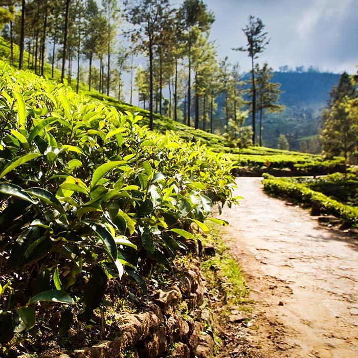 Trek, plantations de thé, Sri Lanka