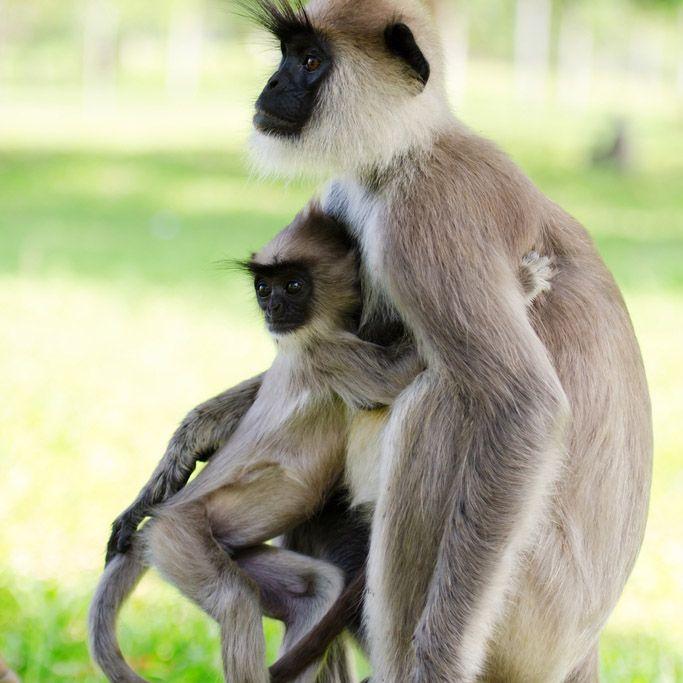 Singes, Polonnaruwa, Sri Lanka