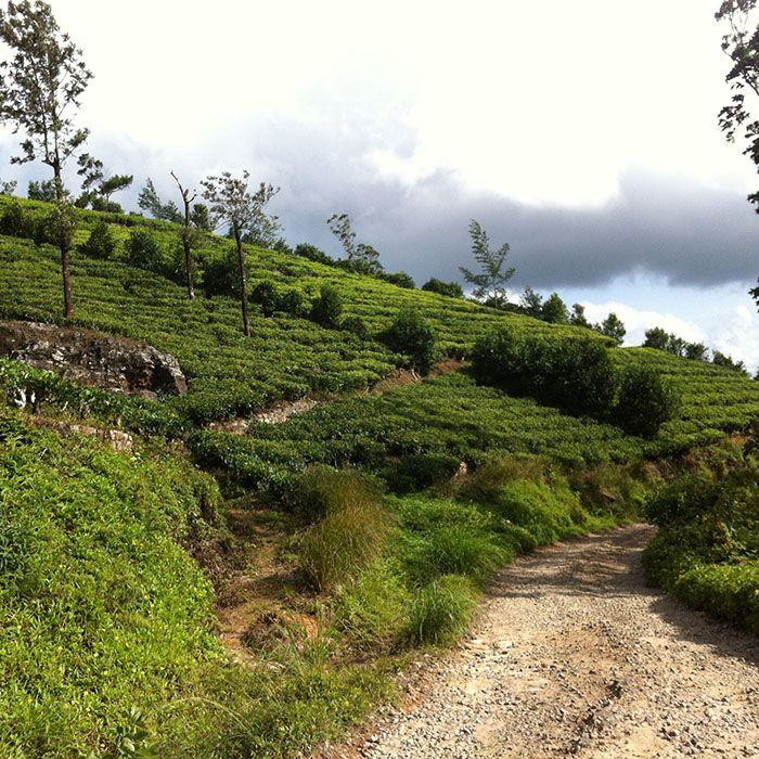 Sri Lanka, Vélo, Plantations thé