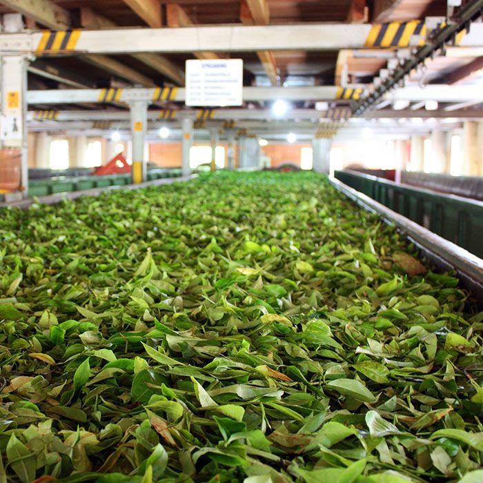 Usine de thé, Sri Lanka