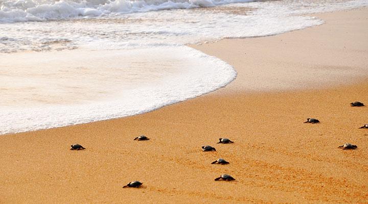 observer-tortues-sri-lanka