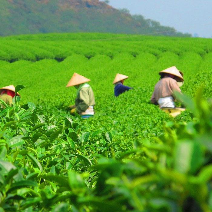 Vietnam, Thé, Moc Chau