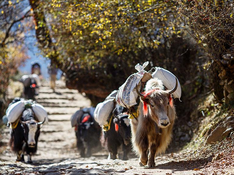 Népal-yaks
