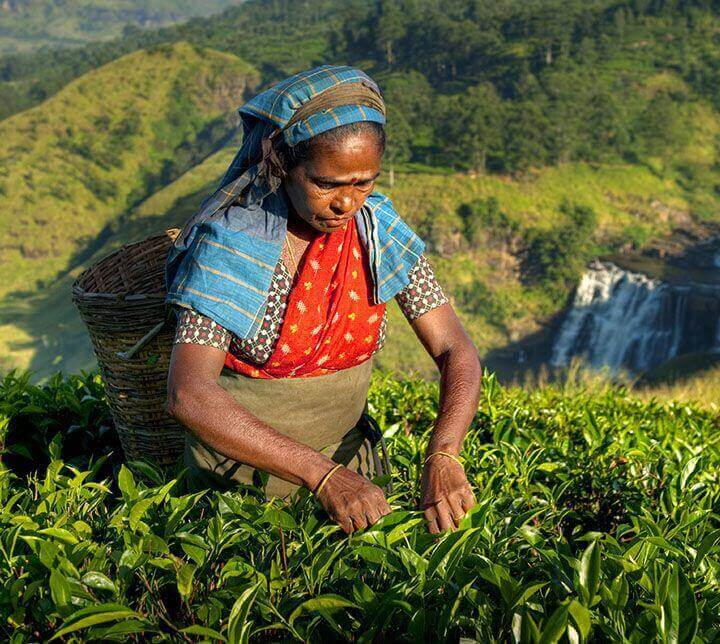 Cueilleuses, plantations de thé, Sri Lanka