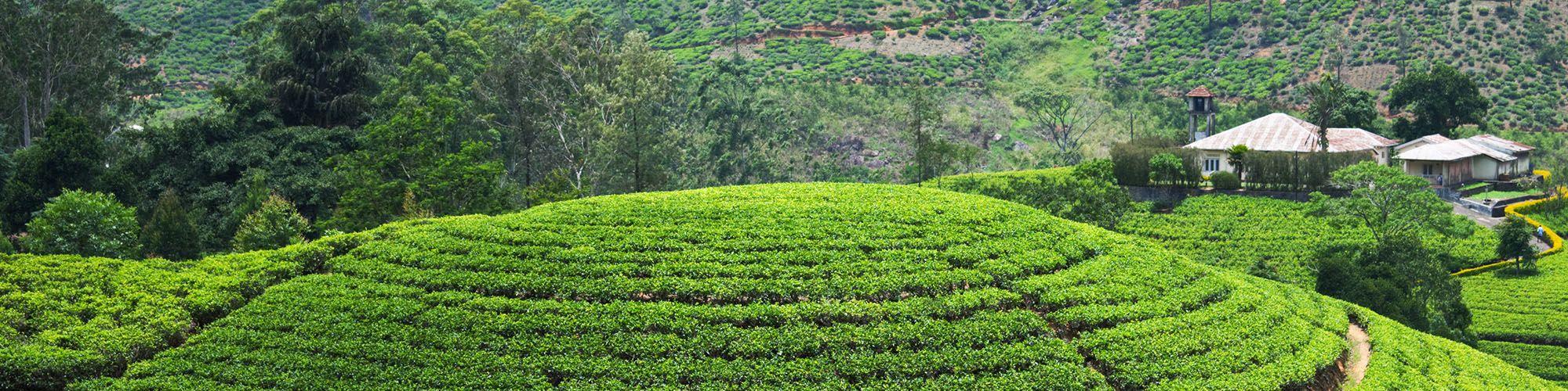 Sri Lanka, Bandarawela, Plantations, Randonnée