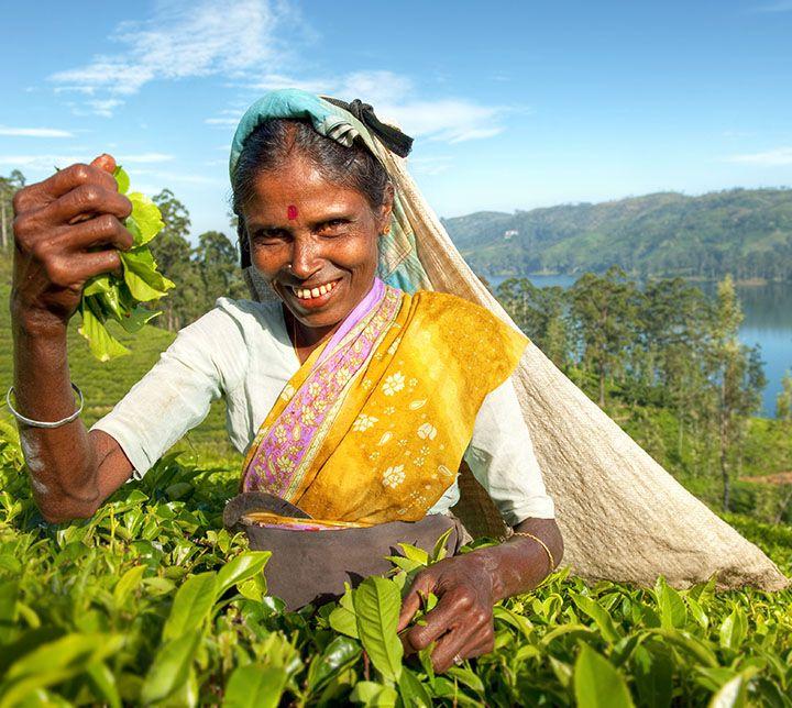 Sri Lanka, Plantations thé, Cueilleuse