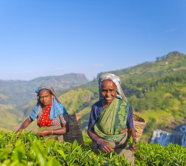 Cueilleuse, plantations de thé, Sri Lanka