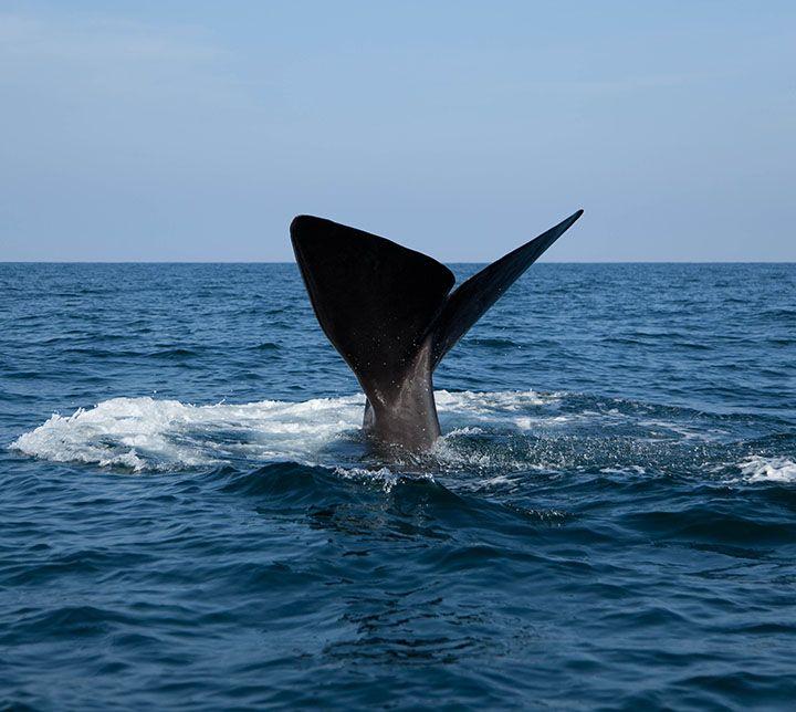 Sri Lanka, Excursion, Baleines