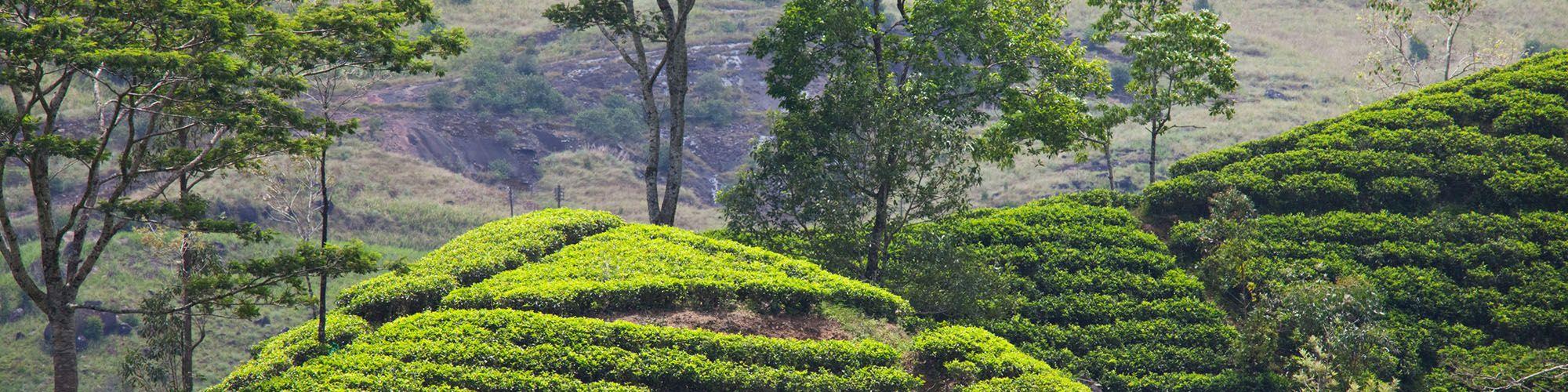 Sri Lanka, Plantations thé, Kandy