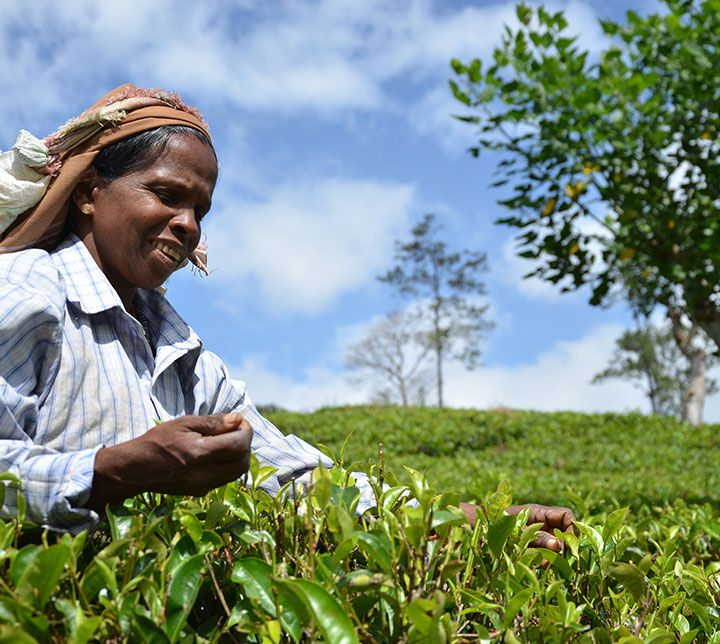 Sri Lanka, cueilleuse, Plantations Thé