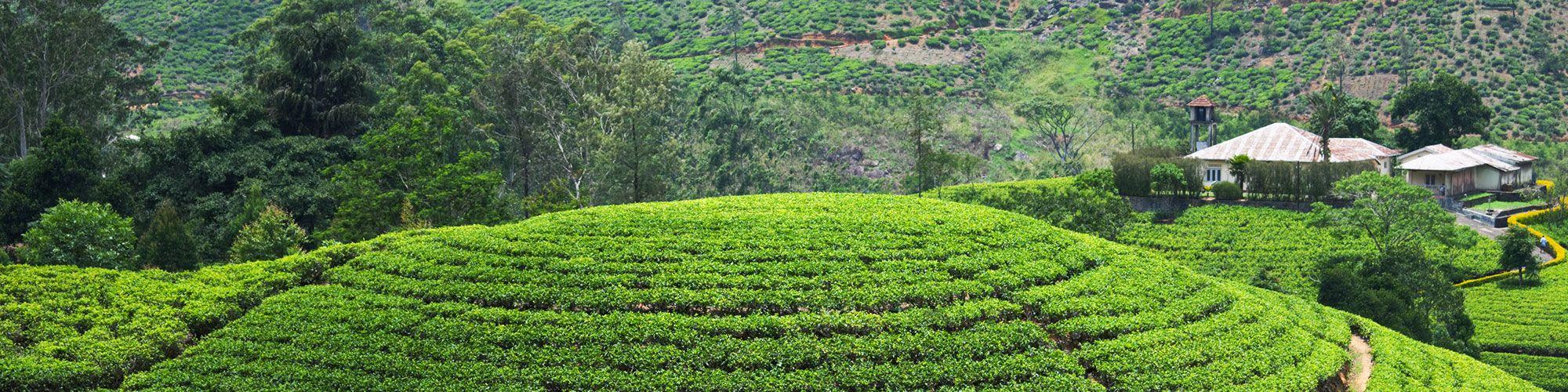 Sri Lanka, Plantations Thé, Bandarawela