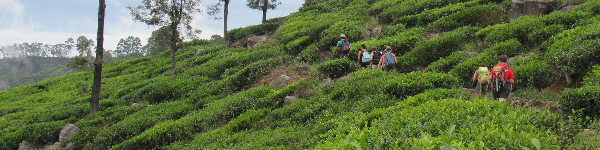 Trek, plantations de thé, Haputale, Sri Lanka