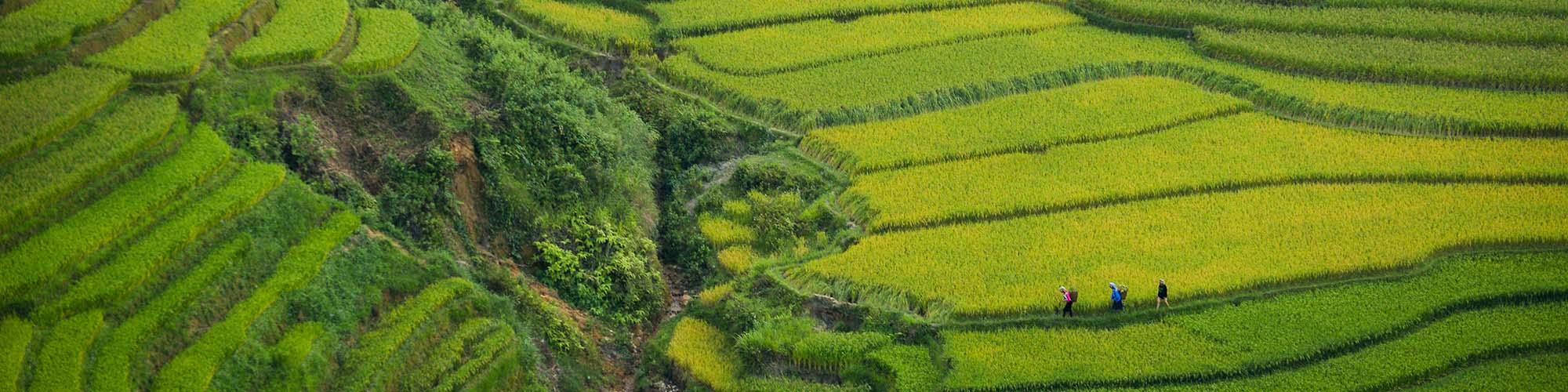Plantation, Riz, Vietnam, Doan Tuan