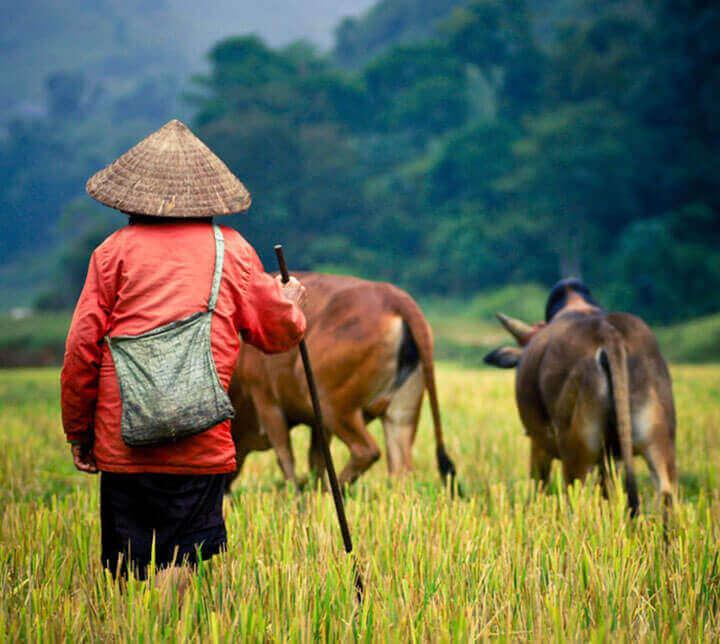 Fermier, Vaches, Vietnam